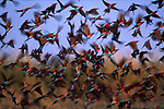 A large colony of Carmine Bee-Eaters rise above their nesting cliffs along the Okavango River in Botswana. The flurry of wings and bodies provide a delightful sense of motion complemented by the pastel colors of the bird's plumage
