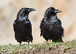 Crows, Ravens, Jays, Magpies