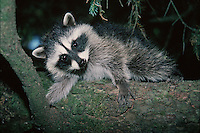 A young raccoon (Procyon lotor) clings to a tree. Washington.