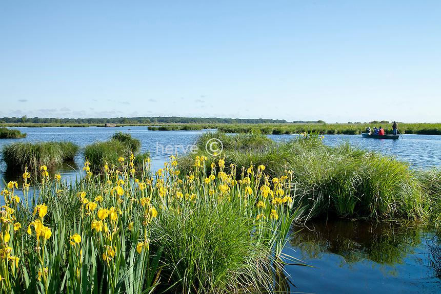 France, Loire-Atlantique (44), Parc Naturel Régional de Brière, Saint-Lyphard, port de Bréca, le marais couvert d'iris faux-acore // France, Loire Atlantique, Parc Naturel Regional de Briere (Briere Natural Regional Park), St Lyphard, port of Breca, the marsh and Iris pseudacorus