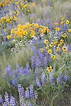 Arrowleaf balsamroot and lupine in Wenatchee foothills near Appleatchee Stables
