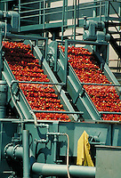 bright red tomatoes being processed in machinery for juice and sauce. agriculture, food, agribusiness, vegetable, business, farming, crop, crops, machine, automation. Ripon California.