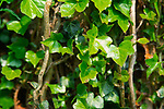 ADFWNA Ivy growing on tree trunk
