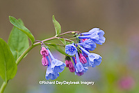 63899-04904 Virginia Bluebells (Mertensia virginica) Marion Co. IL