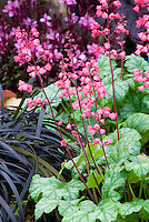 Heuchera Paris in bloom with pink flowers