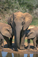 African Bush or Savanna Elephant (Loxodonta africana) with calves, at the waterhole