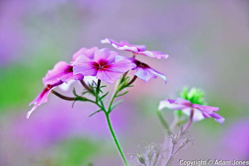 Close-up of Drummond Phlox, Phlox drummondi, Hilton Head Island, South Carolina.