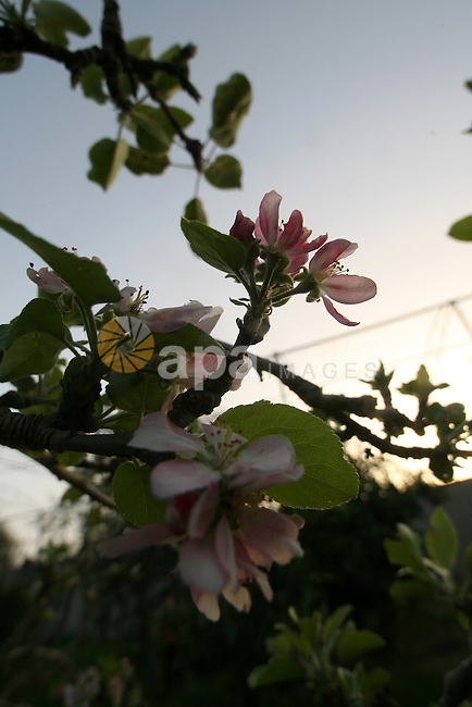 Blooming trees growing at spring in Rafah, southern Gaza Strip on February 20, 2010. Photo by Abed Rahim Khatib