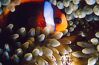 FISH<br /> Anemonefish In Anemone<br /> Also known as clownfish, anemonefish  and certain damselfish are the only species of fishes that can avoid the potent poison of a sea anemone.They attract prey for the anemone while the anemone protects it from larger predators.