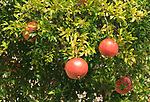Pomegranate fruit growing on tree, Trujillo, Caceres province, Extremadura, Spain