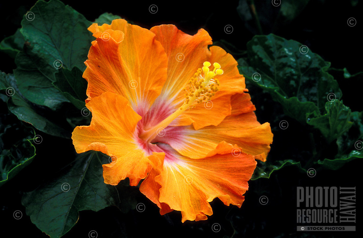 A beautiful close-up of a large peach and white hibiscus blossom surrounded by green leaves