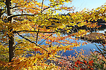 Morning Sunshine on Beech Tree on Shore of Island Pond in Stoddard, New Hampshire USA