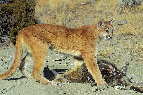 Mountain Lion or cougar (Puma concolor) preying on porcupine (Erethizon dorsatum).  Western U.S.
