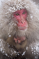 Jigokudani National Monkey Park, Nagano, Japan<br /> Japanese Snow Monkeys (Macaca fuscata) in falling snow at Jigokudani monkey park in the Yokoyu River valley, mother with young monkey