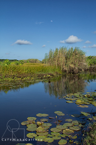 Nariva swamp wetlands with water lilies