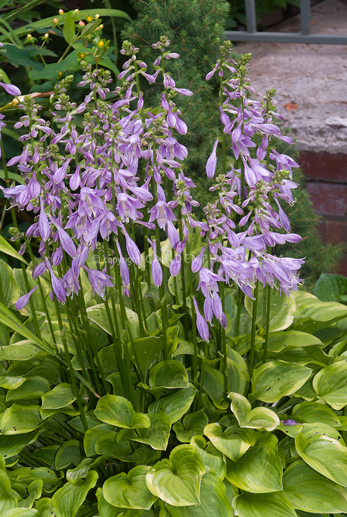 Hosta Golden Tiara in flower bloom, purple flowers and variegated yellow and green foliage leaves