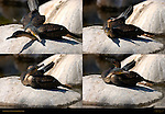 Cormorant Courtship Behavior Southern California Composite Image