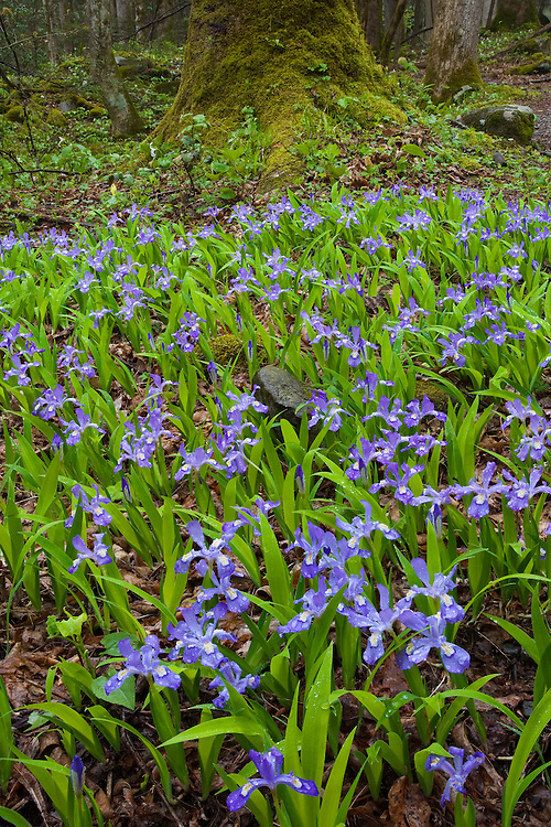 Crested Dwarf Iris (Iris cristata) in bloom along Porter Creek; Great Smoky Mountains National Park, TN