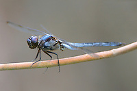 389100007 a wild male bar-winged skimmer libellula axilena an uncommon dragonfly perches on a dead twig in the angelina national forest jasper county texas
