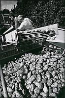 Europe/France/Nord-Pas-de-Calais/59/Nord/Meteren: Récolte ses pommes de terre par l'entreprise Asseman