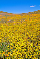 Wildflowers, Poppies, Owl's Clover, Goldfields, bloom, blooming, covering, hills, spring  Antelope Valley, Poppy Reserve, near, Lancaster, California,