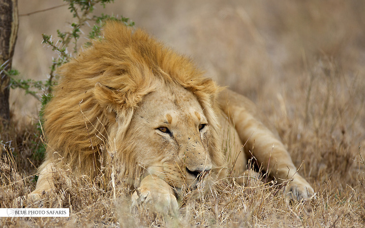 Male lion resting under a tree