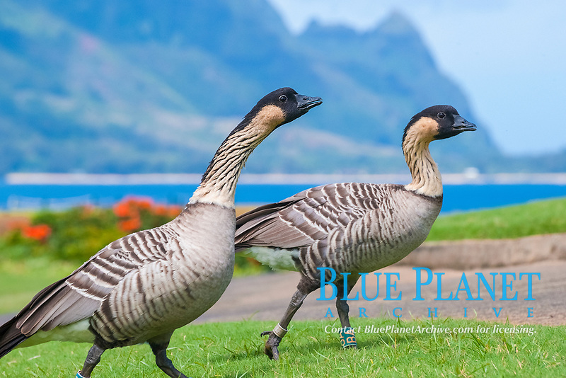 nene, or Hawaiian goose, Branta sandvicensis, endemic species, Princeville, Kauai, Hawaii, USA