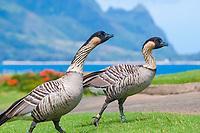 Ducks | Geese | Swans