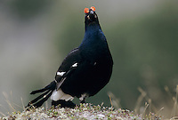 Black Grouse, Tetrao tetrix,male displaying, Wallis, Switzerland, May 1998