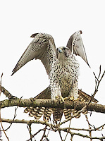 Adult gyrfalcon stretching its wings as it prepares to take flight.<br />
