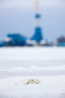 Arctic fox in white winter coat rests in a snowdrift along a lake in Alaska's arctic north slope. Prudhoe bay oil well in the distance.