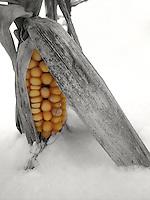 Corn in the Snow