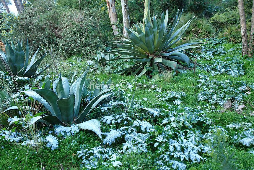 Le domaine du Rayol en f&eacute;vrier : exceptionnel, neige et froid visible ici sur les grandes feuilles d acanthes et d'agaves.<br /> <br /> <br /> (mention obligatoire du nom du jardin &amp; pas d'usage publicitaire sans autorisation pr&eacute;alable)
