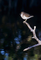 Spotted Sandpiper, Actitis macularia, adult winter plumage, Sanibel Island, Florida, USA, Dezember 1998