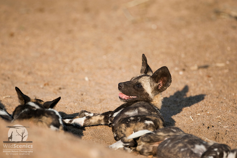 African wild dog pups lying in sand.