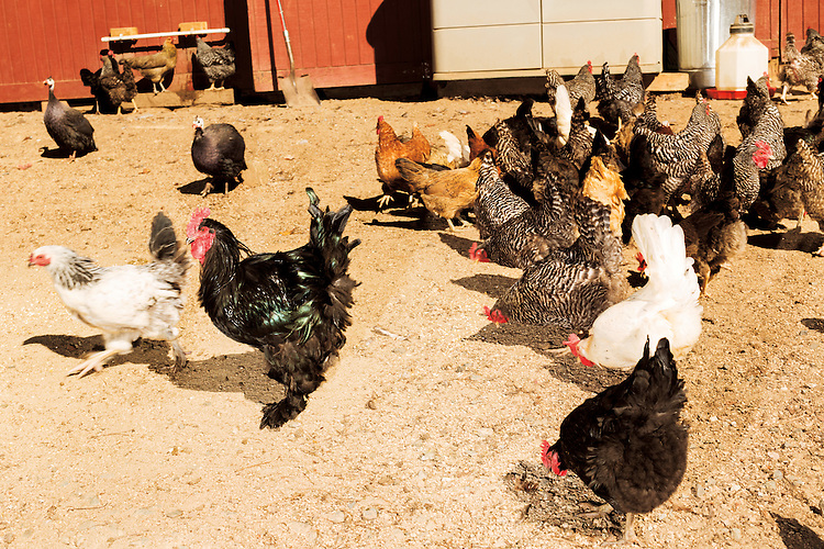 October 18, 2015. Hillsborough, North Carolina.<br />   Heidi Perreault runs Sunrise Oak Farm with her husband Tom Rajala and 16 mo. old daughter Lily.<br />  North Carolina officials recently issued an order mandating all backyard chicken owners register their birds with the state, in order&mdash;ostensibly&mdash;to protect the state&rsquo;s poultry operation from a potential bird flu outbreak.