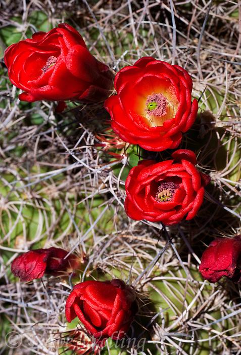 155700001 a mojave mound cactus echinocereus triglochidiatus blooms in joshua tree national park san bernardino county california united states