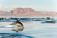 short-beaked common dolphin, Delphinus delphis, chasing fish, Gulf of California, Sea of  Cortez, Mexico, Pacific Ocean