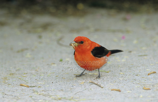 Scarlet Tanager, Piranga olivacea,male eating Mealworms, South Padre Island, Texas, USA, May 2005