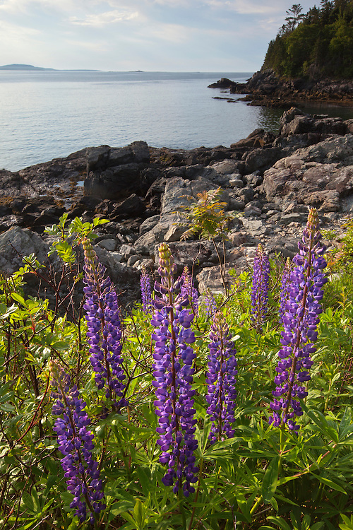 Lupine grow along the Compass Harbor in summer in Acadia National Park, Maine, USA