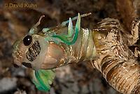 0901-0812  Emerging Adult Dog-day Cicada, Tibicen spp.  © David Kuhn/Dwight Kuhn Photography