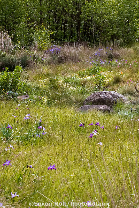 Rain garden swale to collect water runoff in naturalistic spring meadow garden with wildflowers, rocks and native grasses, Menzies California native plant garden