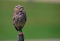 Burrowing Owl (Athene cunicularia) on post, south Florida