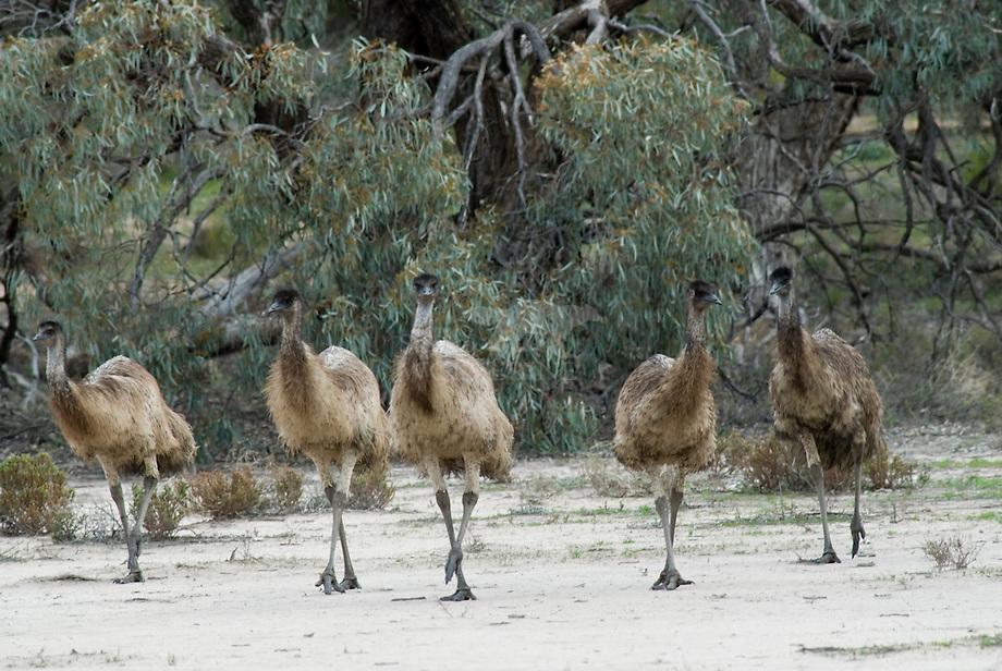 Emu (Dromaius novaehollandiae), Australi'.