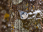 White-breasted nuthatch heading down a snow-covered tree trunk in northern Wisconsin.