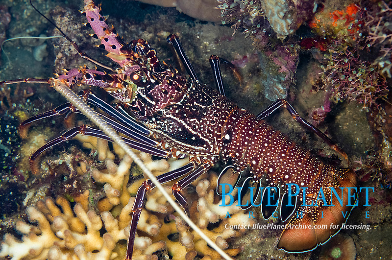 Spiny Lobster, Panulirus penicillatus, night dive, Perai village dive site, Wetar Island, near Alor, Indonesia, Banda Sea, Pacific Ocean