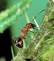 Wood Ant; Formica sp.; attending aphids; PA, French Creek State Park