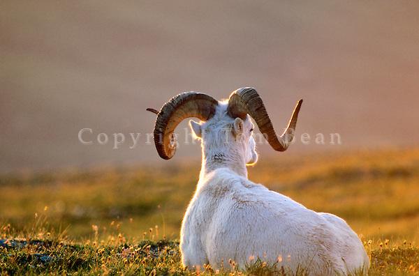 Dall sheep, ram resting at sunset on Mount Wright, Denali National Park, Alaska, AGPix_0160.