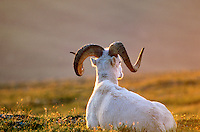 Dall sheep, ram resting at sunset on Mount Wright, Denali National Park, Alaska, AGPix_0160.