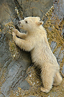 A Spirit Bear Cub munches on barnalces along the coast, Port Hartley, British Columbia, Canada, September 2007